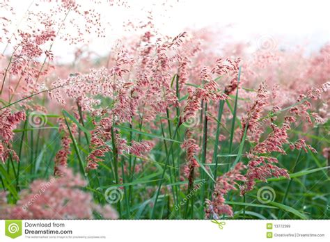 field of pink flowering grass royalty free stock images