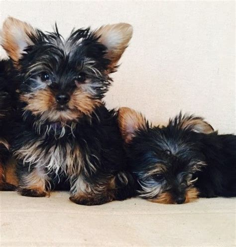 yorkie hawaii top quality and yorkie puppies for hilo hawaii pets for sale classified