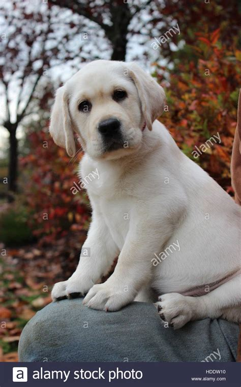 baby lab puppies baby yellow lab puppies www pixshark images galleries with a bite