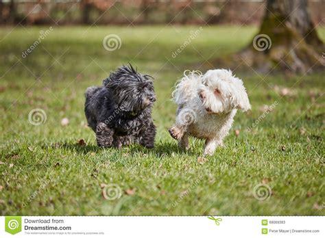 havanese prezzo due cani havanese che giocano nel parco immagine stock immagine 68069383