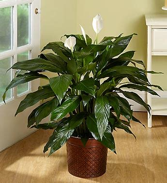 biggest house plants large house plants tall house plants