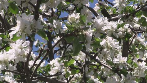 blooming apple tree in early spring stock footage video 2275640 shutterstock