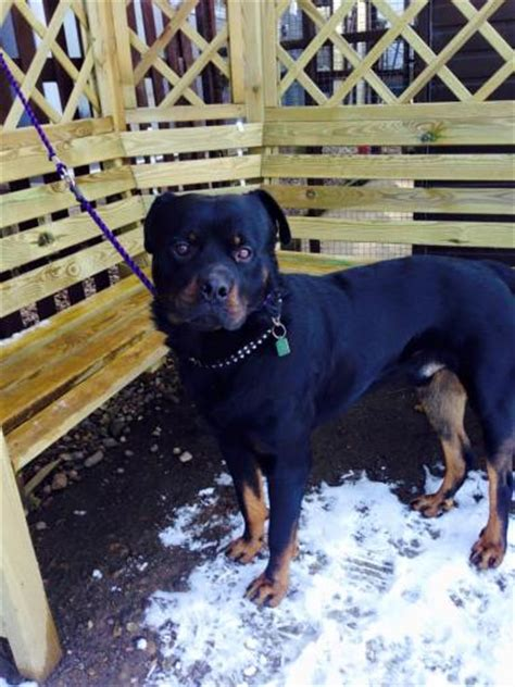 rottweiler rescue midlands rottweiler dogs for adoption and rescue
