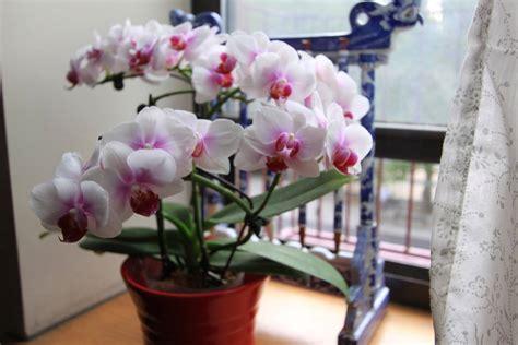 orchidee in casa dove posizionare le orchidee in casa cura orchiedee