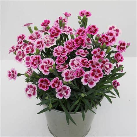 Carnation basket pot dianthus diantica 174 pink kisses