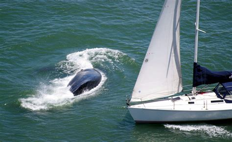 boat sinking fairfield ct whale barely dodges oncoming sailboat near golden gate