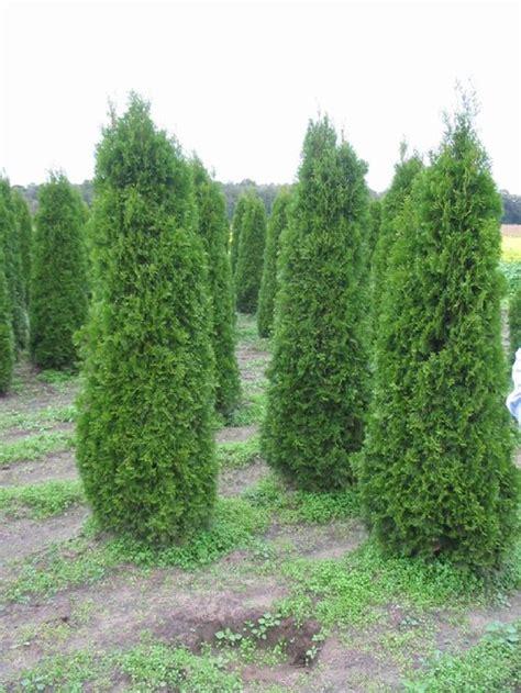 wann thuja pflanzen thuja hecken schneiden thuja occidentalis lebensbaum