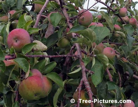 tree ripened fruit apple tree pictures images photos of apple trees