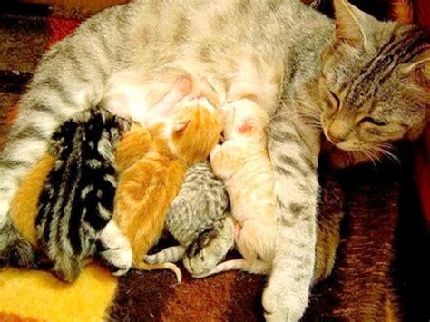 alimenti per gattini allattamento gattini e alimentazione