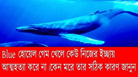 Who Sings For Blues How Blue Whales Became Ingredients In - blue whale s all real information news world