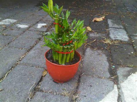 tanaman bambu hoki spiral bibitbunga