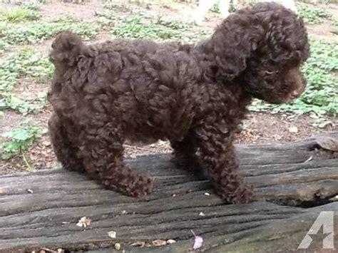 chocolate poodle puppies for sale ckc registered poodle puppy quot brownie quot for sale fur