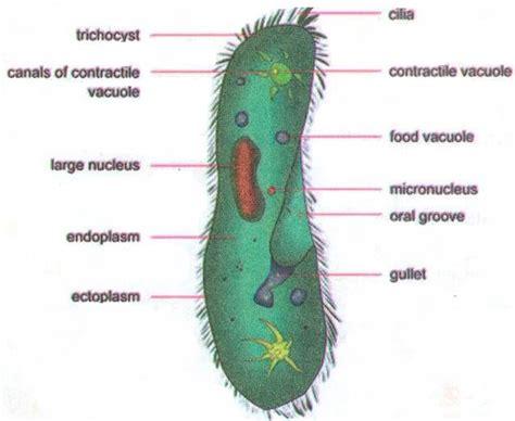 paramecium diagram paramecium pellicle related keywords paramecium pellicle