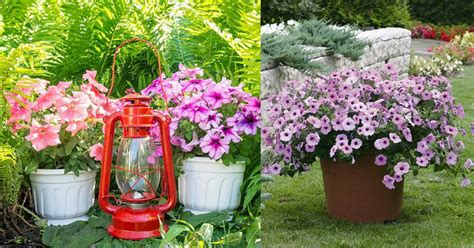 growing petunias in containers petunia care tips