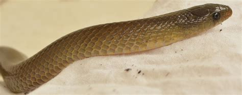 all of the following are true about color blindness except help me identify this snake oligodon genus species
