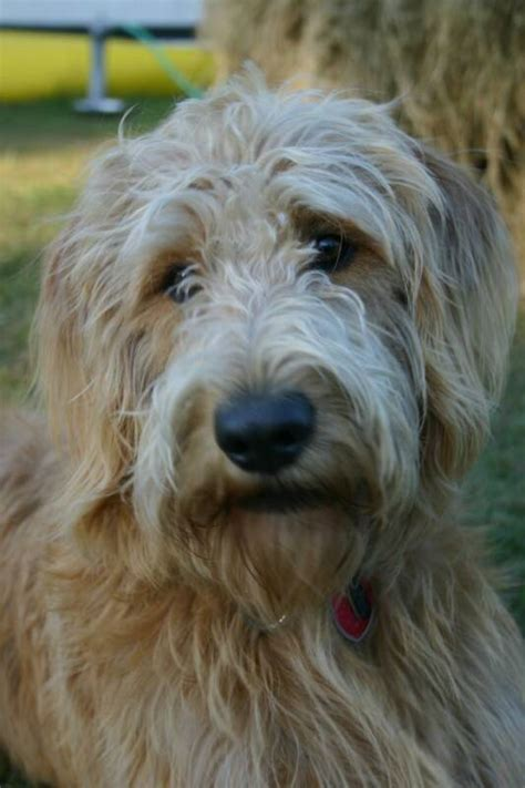 doodle puppy acres goldendoodle and labradoodle puppies from yesteryear acres