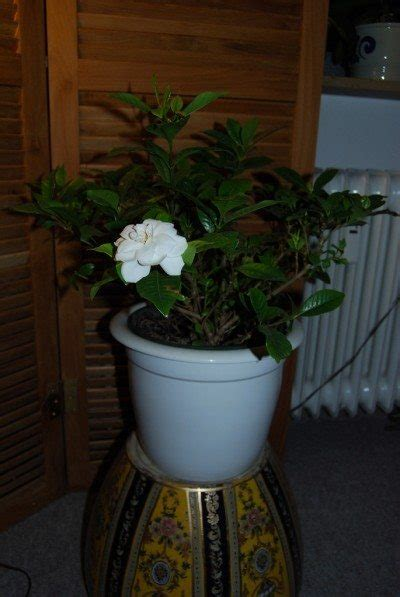care  indoor gardenia learn   grow  gardenia indoors