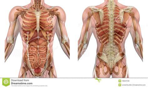 il corpo umano gli organi interni parte anteriore e parte posteriore maschii torso con i