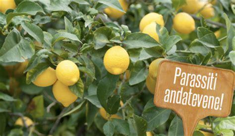 parassiti limone in vaso parassiti delle piante di limone quali sono i pi 249 comuni