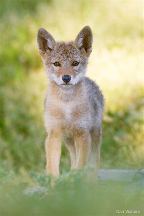 coyote puppy 15 adorable wildlife puppies for national puppy day the national wildlife federation