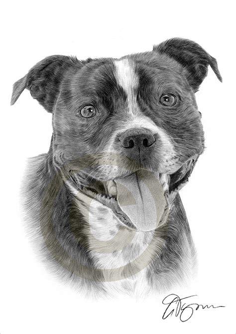 drawn pit bull staffordshire bull terrier pencil