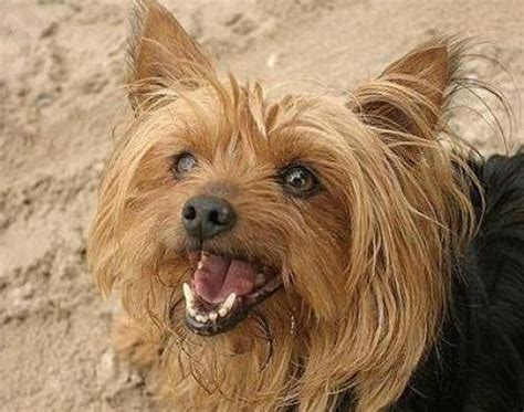 yorkies for sale in wisconsin yorkie puppies for sale in wisconsin we can help you to stop it all this guide is