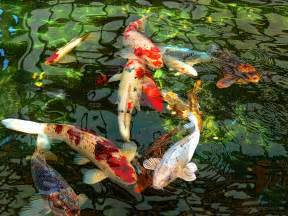 japanese koi fish pond photograph by jennie marie schell