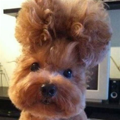 haircuts gone wrong funny 17 best ideas about dog haircuts on pinterest yorkie