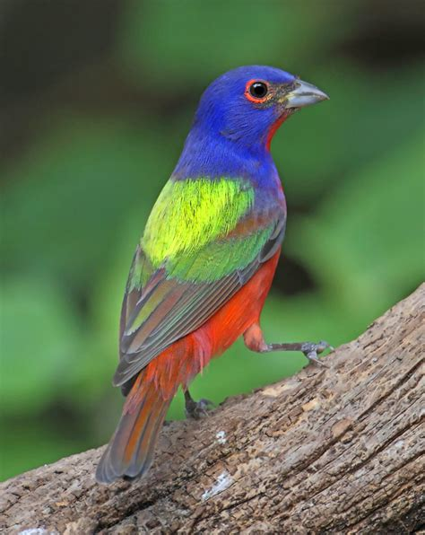 painted buntings nature s color wheels tallahassee com