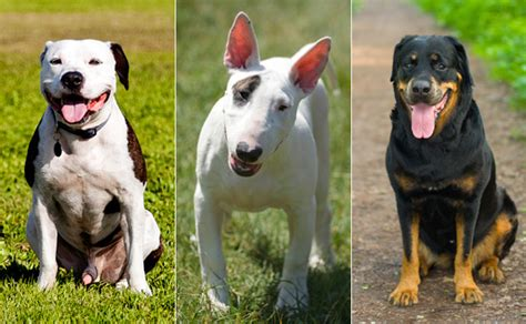 house dogs breeds white house comes out against dog breed bans