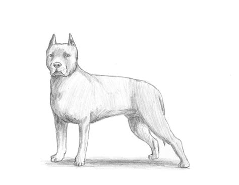 how to a pitbull pitbull drawings