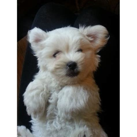coton de tulear puppies for sale florida coton de tulear breeders in the usa and canada freedoglistings page 1
