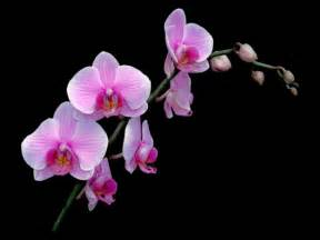 phalaenopsis flower info and pictures indoor flower