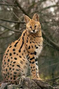 serval cat ideas pinterest