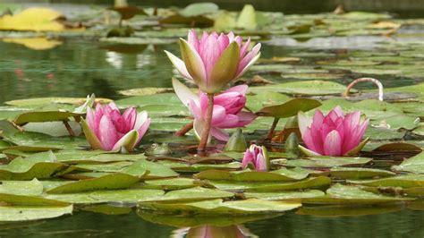Blume Mit Rosa Blüten by Die 52 Besten Hintergrundbilder Der Natur Blumen Und