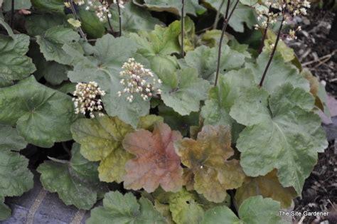 comfort plant heuchera southern comfort the site gardener