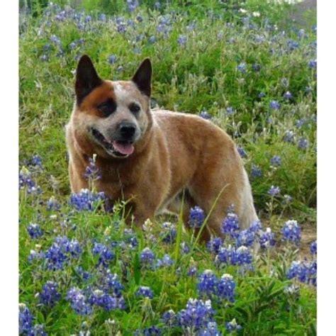 blue heeler puppies for sale in va australian cattle blue heeler heeler breeders in freedoglistings