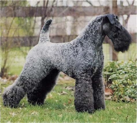 kerry blue terrier puppies kerry blue terrier breeders within the united states puppies for salesiggy s paradise