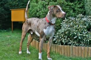 Alfa img showing gt red merle catahoula leopard dog