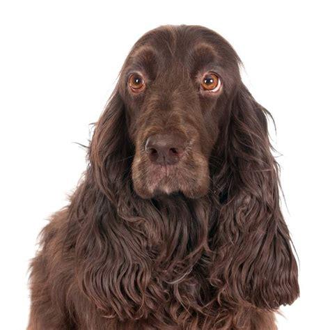 Field Spaniel   Dogs   Breed Information   Omlet