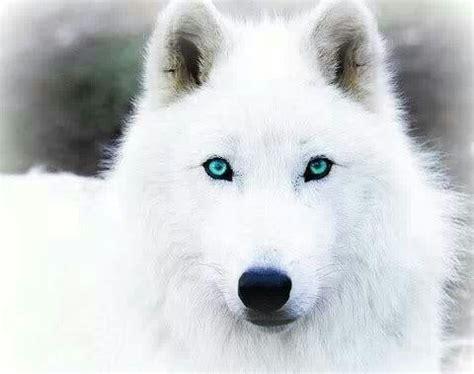 imagenes ojos blancos lobo blanco de ojos azules animales pinterest