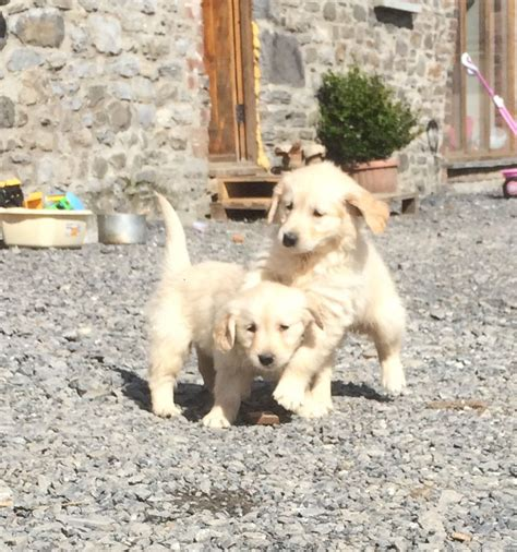 2 year golden retriever for sale golden retriever puppies for sale llandeilo carmarthenshire pets4homes