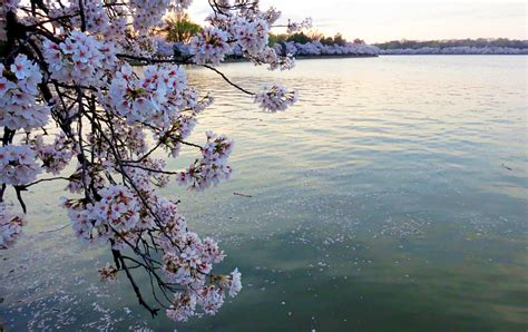 cherry blossom festival dc ultimate guide to the national cherry blossom festival in