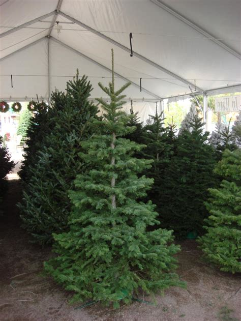 noble fir christmas trees for sale liming me