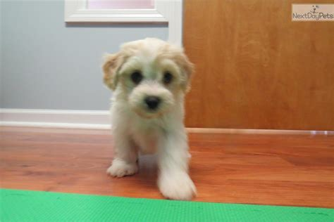 cavachon puppies for sale in michigan cavachon puppy for sale near detroit metro michigan