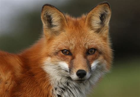 google images fox foxes eyes and google on pinterest