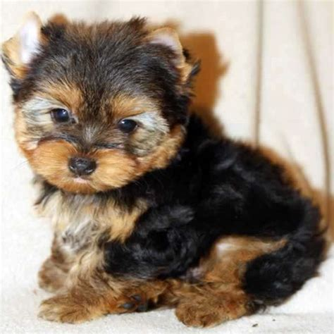 yorkie small yorkies for sale buy small yorkie puppy