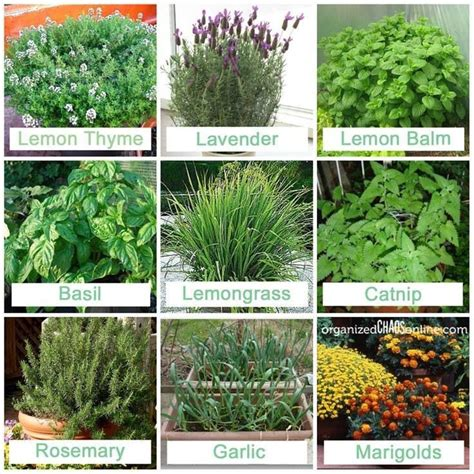 insect repellent plants constant gardener pinterest