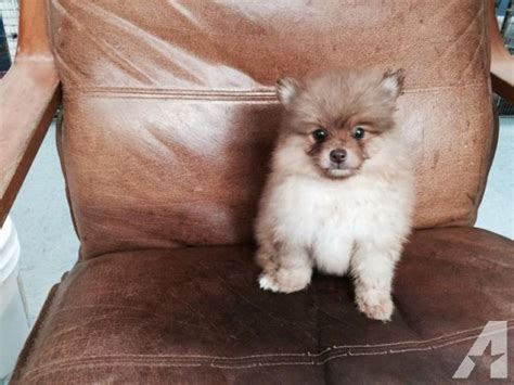 pomeranian puppies for sale in washington pomeranian puppies for sale in bonney lake washington classified americanlisted