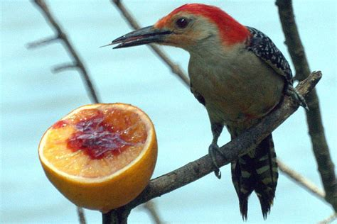 what do woodpeckers eat food sources